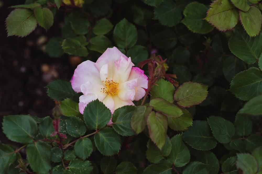 01-san-jose-rose-garden-wedding-vivianchen-002.jpg