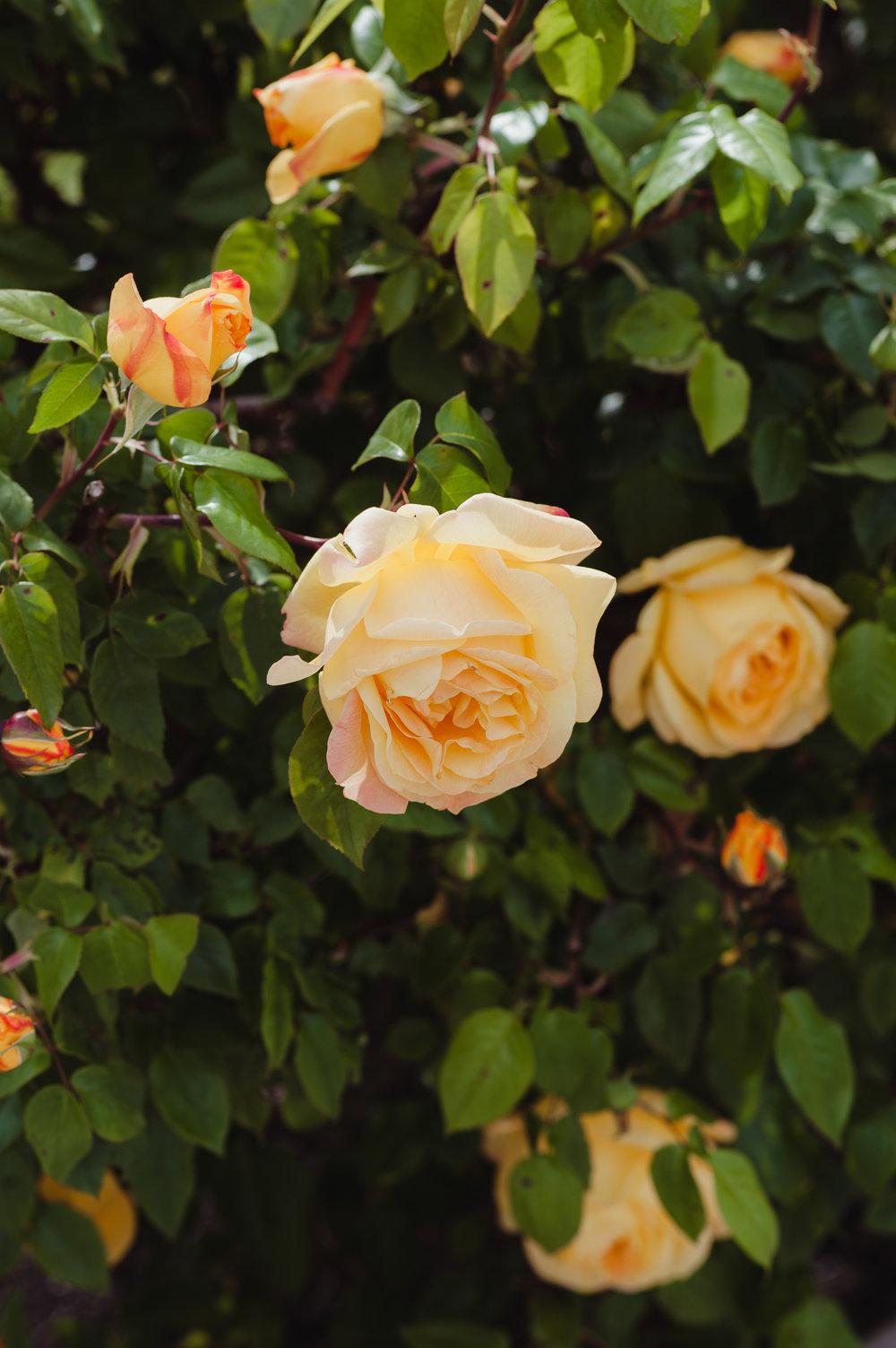 03-san-jose-rose-garden-wedding-vivianchen-003.jpg