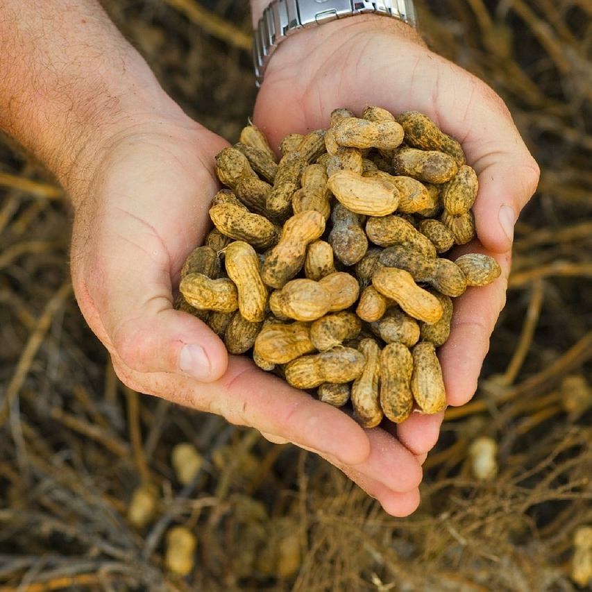 Hands holding peanuts.png