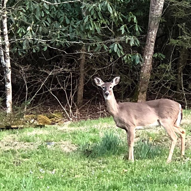 She stopped eating and we just looked at each other.  Sweet moment. #blueridgemountains#sweetmoments#doe#spring2018 #preciousmoments