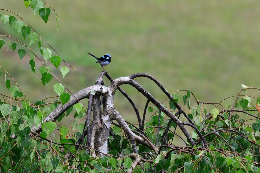 Super Fairy-wren