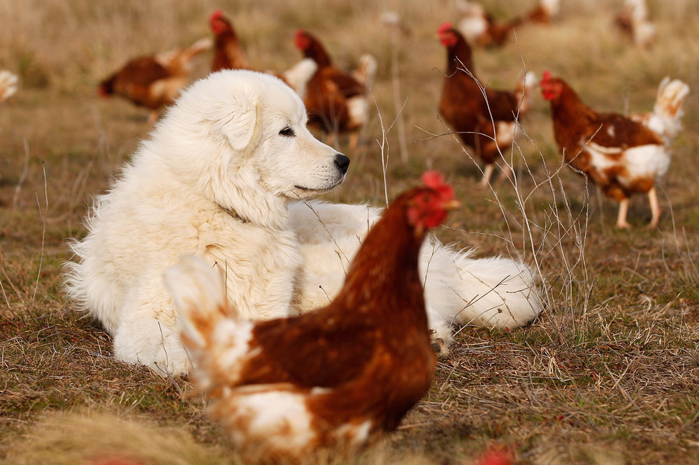Support our work by buying our free range, organic eggs!