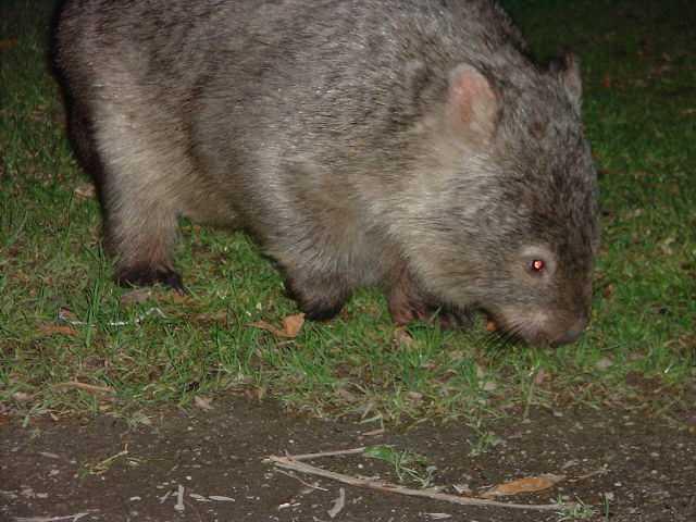 Cuddly wombat, Wilson's Prom