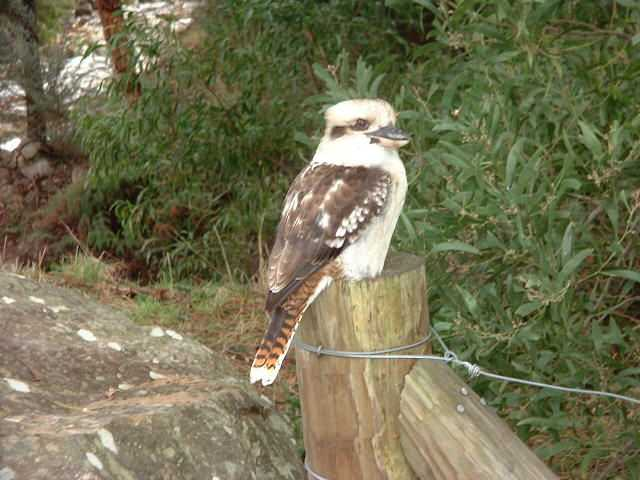 Laughing Kookaburra, Halls Gap. You've heard him in dozens of Tarzan movies