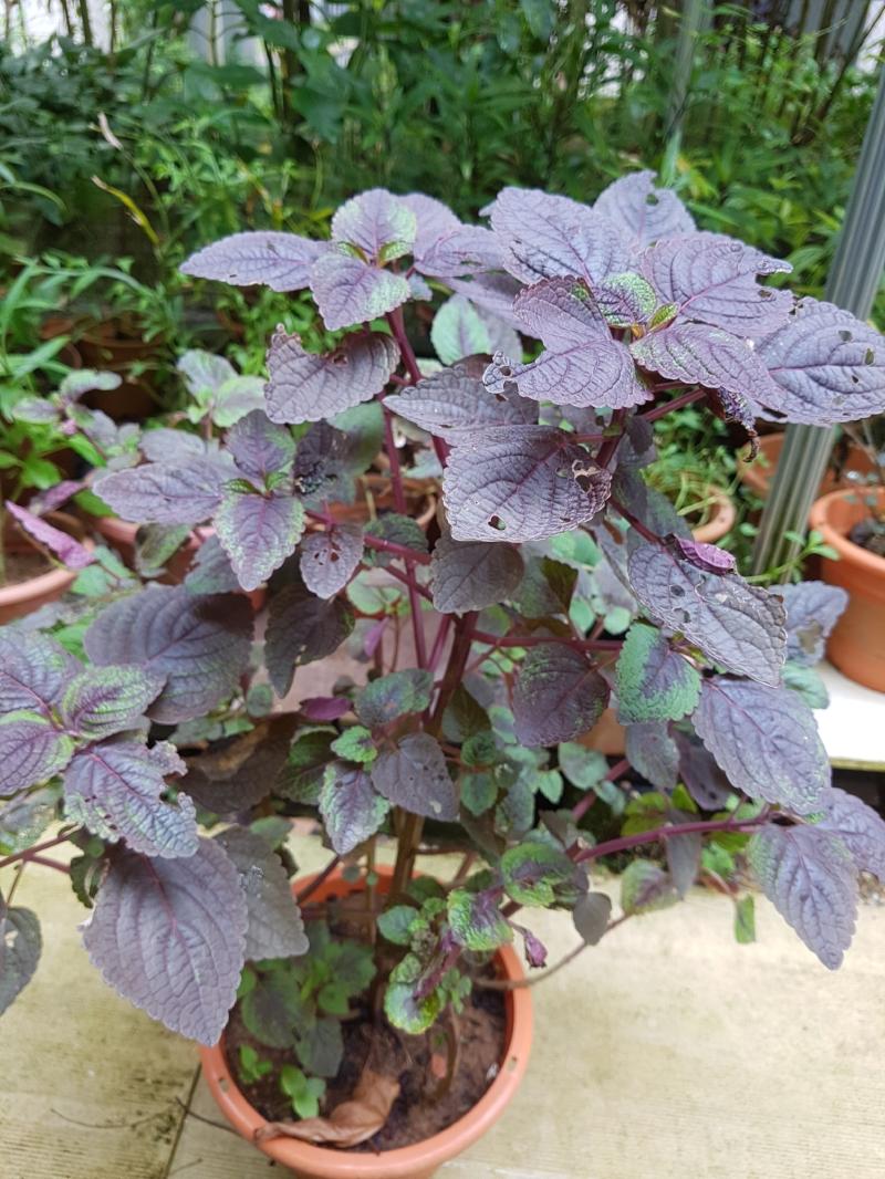 perilla frutescens PLANT 红紫苏.jpg