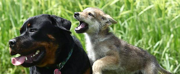 dog-wolf-blog.jpg