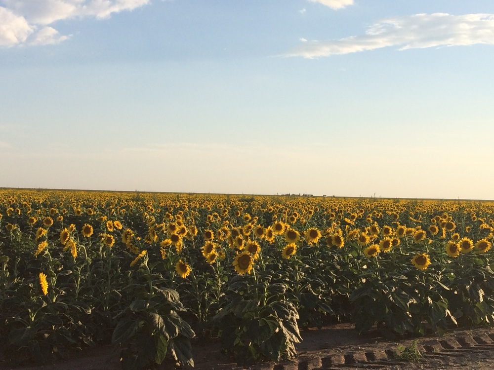 Sunflowers beaming brightly in Johnson County, KS
