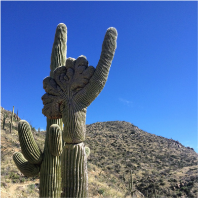 Crested Saguaro! It is believed to be a rare genetic mutation that causes this to happen. Brian Matter has found almost 30. I've seen 2.