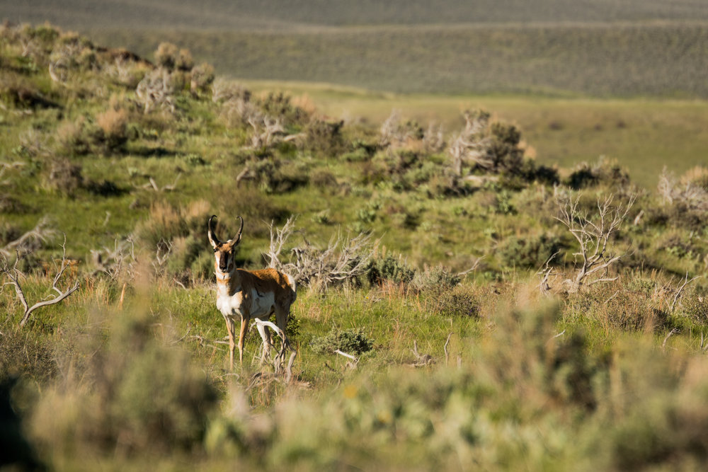 Pronghorn in the plains.