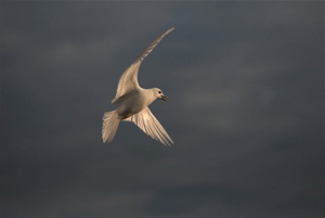 An ivory gull in flight.