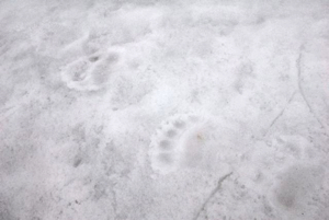 Polar bears footprints on snow.
