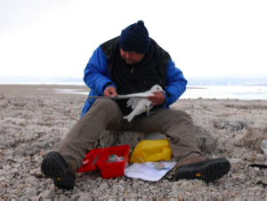 Dr. Adrian Aebischer fitting an ivory gull with a radio transmitter.