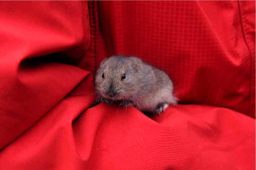 A curious lemming comes to our tents...