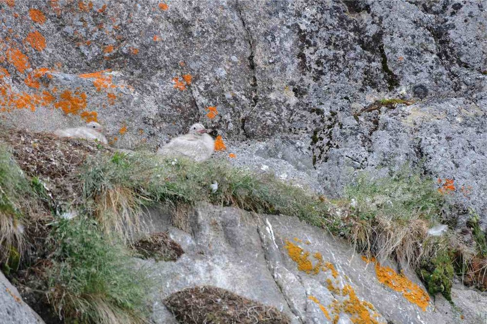Sea gulls chicks ont he cliff.
