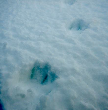 Arctic fox tracks on    Zhokhov Island   , East Siberian Sea.