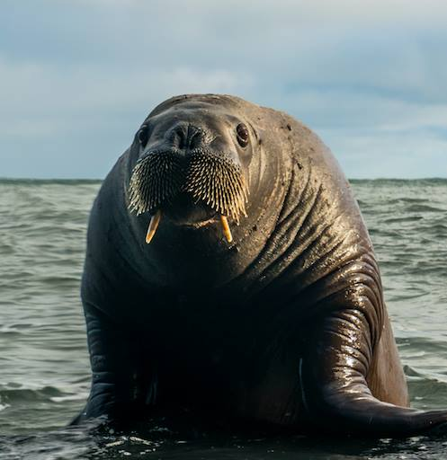A curious walrus invites    Aurore Asso and Alexey Molchanov    (photo) for a free diving session…