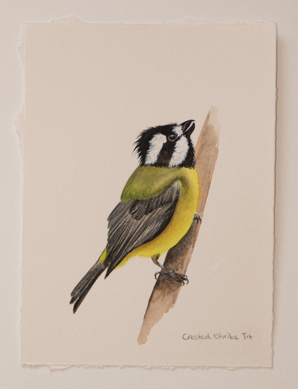 #5. Crested Shrike Tit (1 of 1).jpg