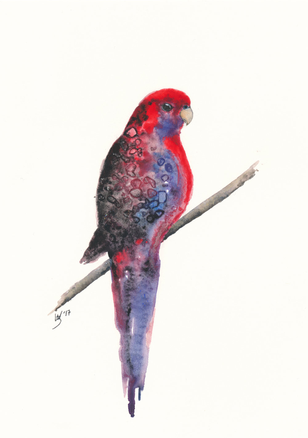 Crimson Rosella Watercolour - Zoe Wood 2017