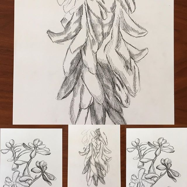 Sketches of dried chillies and a jade plant