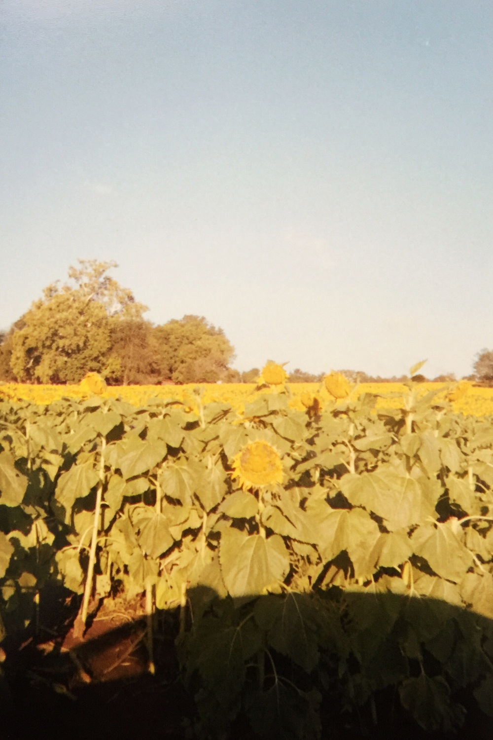 Sunflower fields in Kansas. We woke up before sunrise to see them at dawn.