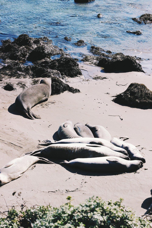 Elephant seals.california road trip