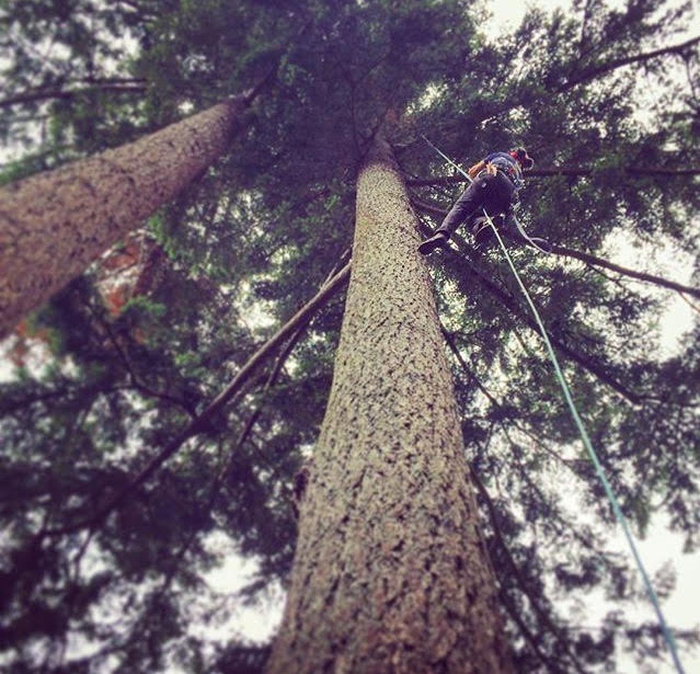 We specialise in non-invasive spurless climbing. Here we are heading up into the crown of a Douglas Fir removing dead wood in West Vancouver.