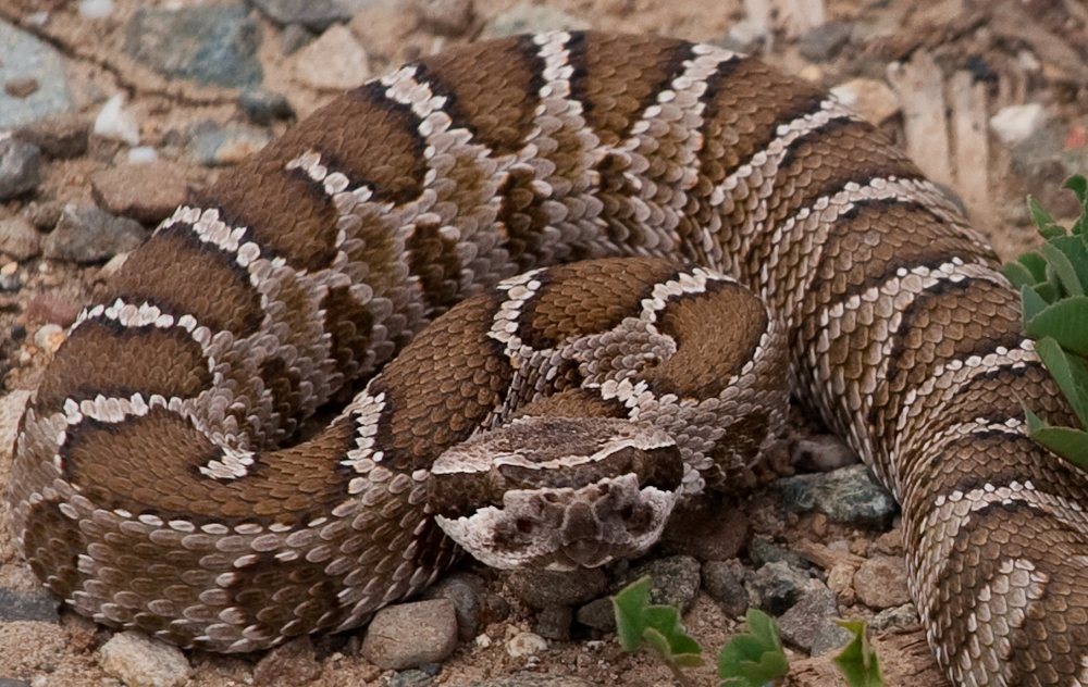 A Young Rattlesnake