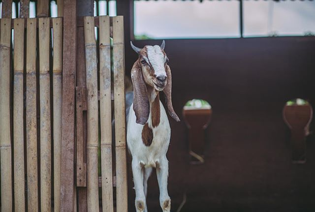 #saturday vibes at the farm 🐐  One week left to get in on  early bird pricing for our Good Life Retreat starting December 15th, 2016 !  Get in touch with us at: goodearthfarmbali@gmail.com ✉️ and grab your spot....the goats are waiting for you 😊 📷 by @brianaautran . . . .  #farmlife #goodlife #retreat #animals #getoutside #permaculture #animals #connect #nature #explore #yoga #community #sustinable #living #goodearthfarmbali #weekendvibes #saturday #ubud #bali