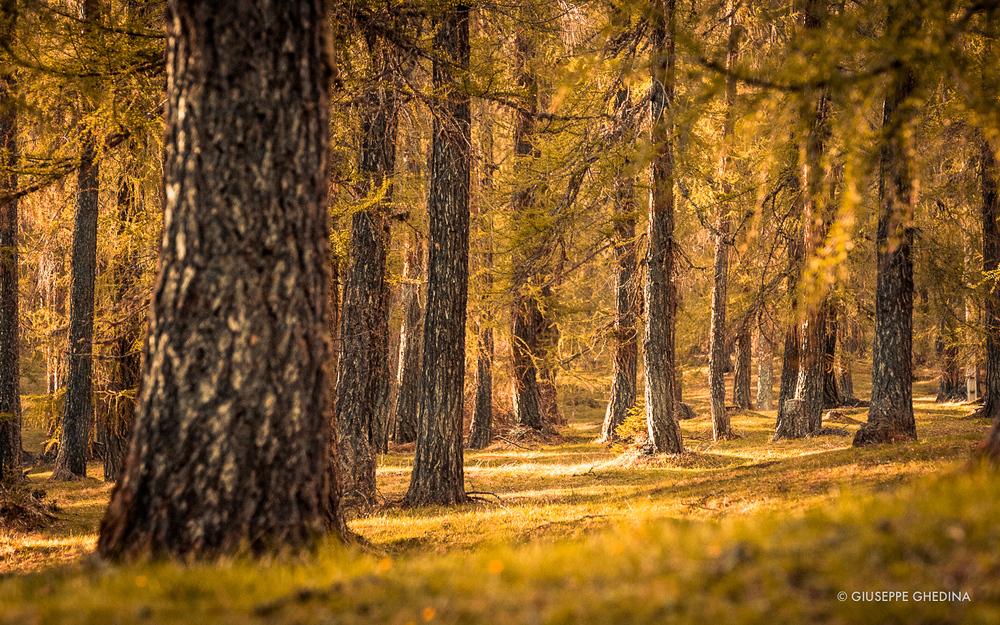 Il bosco di larici di Larieto in Autunno _ photo @giuseppeghedina.com