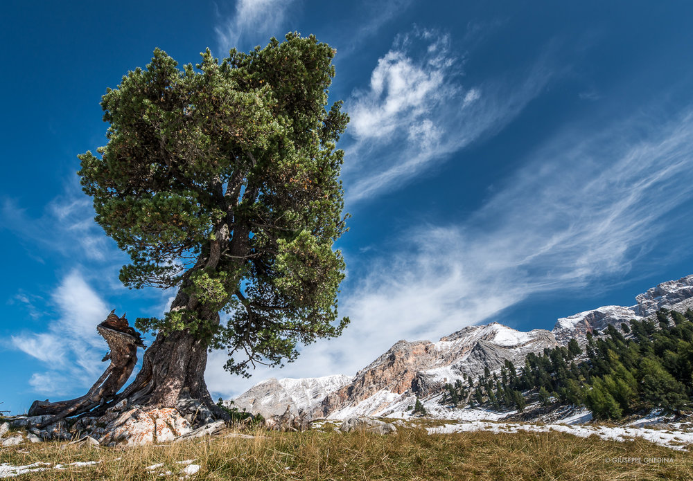 Il grande pino cembro di Lerosa _ Photo © GIUSEPPEGHEDINA.COM