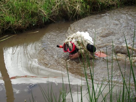 A snorkelling sheep in a bog. Photo from Green Events, organisers of all that is wacky in these parts.