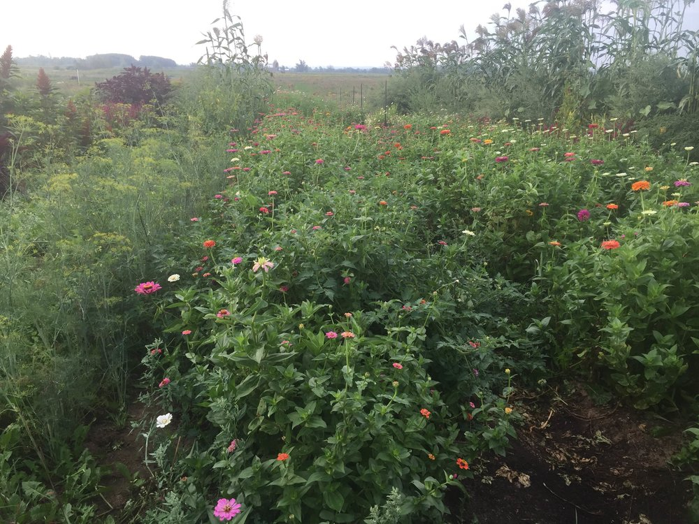 flower farm, zinnias, dill, broom corn