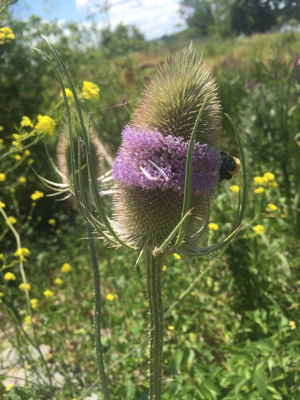 wildflower, teasel, bumble bee