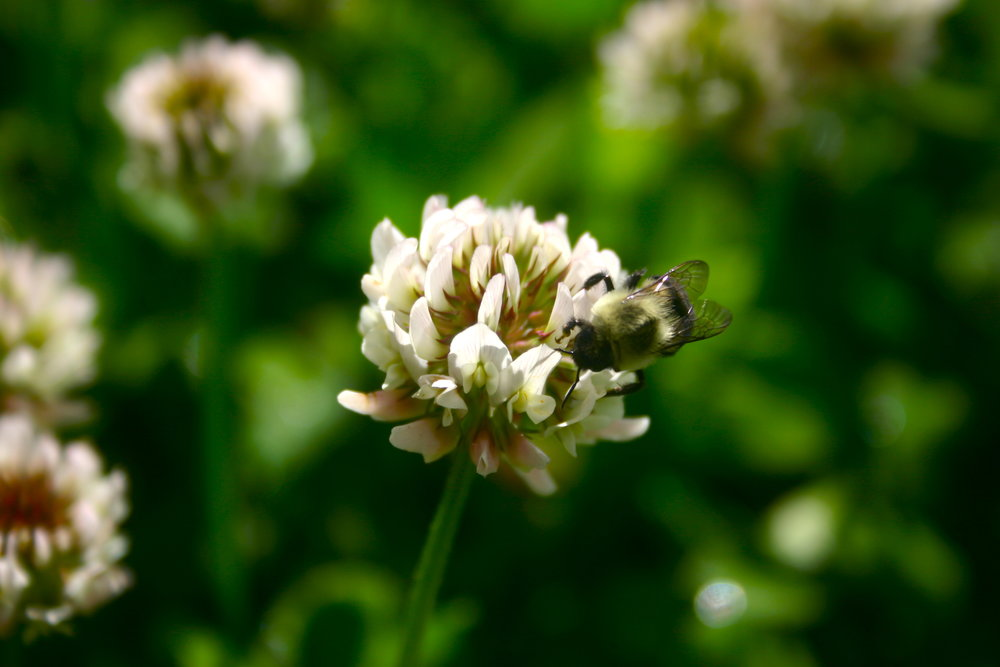 clover, bumblebee