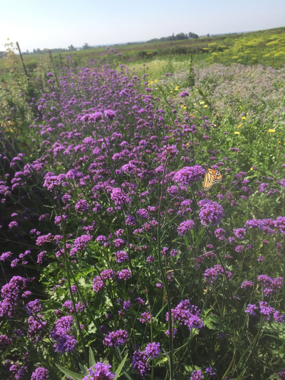 Verbena, Monarchs, flower farm