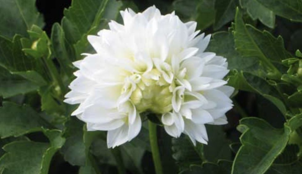 tarnish plant bug damage on dahlias