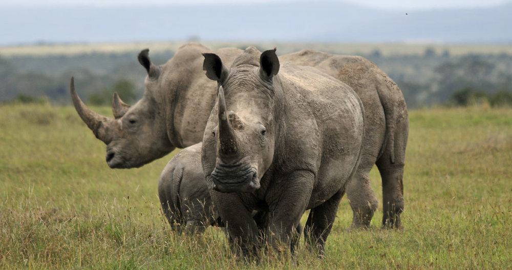 Rhino-Wilderei im Rückwärtsgang?