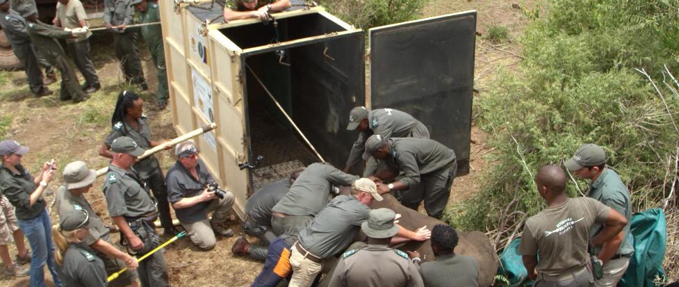 Betäubtes Nashorn wird in Südafrika für den Flug nach Tschad «verpackt».      Screenshot:www.african-parks.org