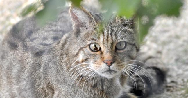 Wildkatze, ebenfalls eine Dählhölzli-Bewohnerin |  Alle Fotos © by Ruedi Suter