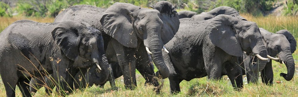 Elefanten im Botswana: «Nur» 19 statt 87 Elefanten gewildert? © Foto by EWB