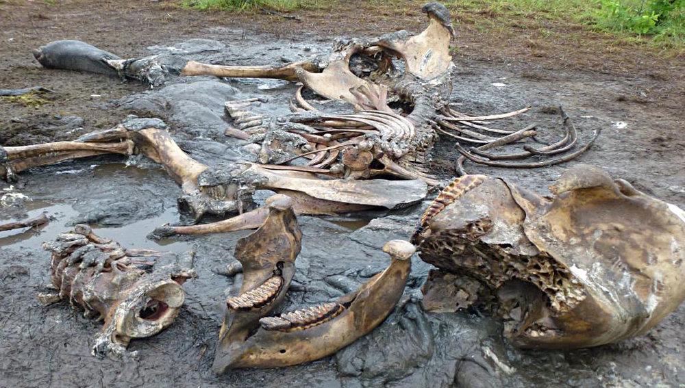 Gewilderter Elefant anno 2014: Die Knochen blieben zurück, nicht aber die Stosszähne |  © Foto by Rolf D. Baldus
