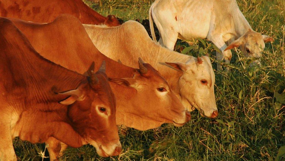 Futterkonkurrenz der Wildtiere: 10 Millionen Rinder |  © Foto by Gian Schachenmann