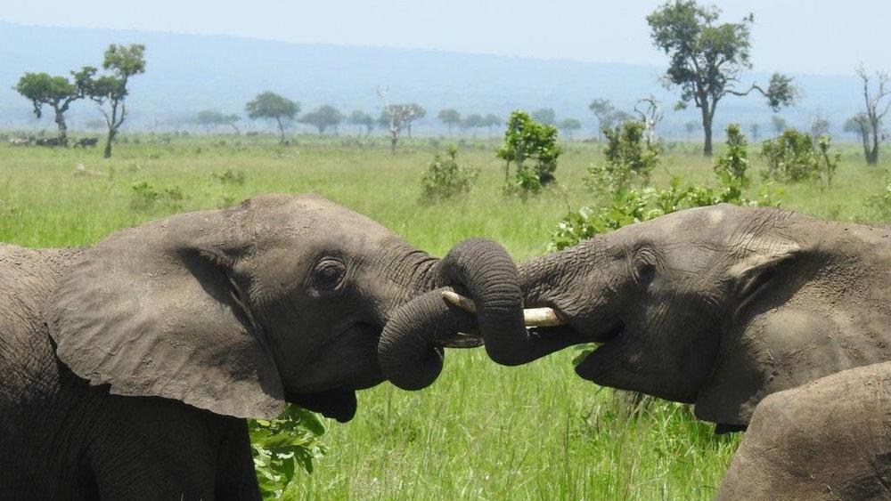 Lebensfreude: Spielende Elefanten, Süd-Tansania | © Foto Beni Arnet