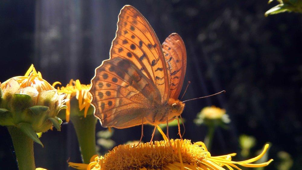Verhungernde Insekten dank herausgeputzte Gärten und öden Wiesen |  © Foto Ruedi Suter