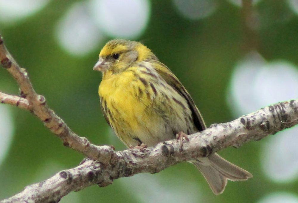 Im Visier der Vogeltöter: Zugvogel Girlitz |  © Foto by Luis García