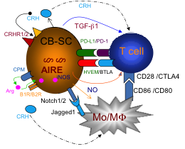 图 4  . 脐血多能干细胞免疫调节的分子机制。当分选后患者   T   淋巴细胞经过教育器时,   CB-SC   可通过细胞膜分子(  PD-L1  )和释放的可溶性分子 (  NO   和   TGF-    1  ),形成三维调 节的微环境,直接作用于   T   细胞 (包括调节性   T   细胞和病理性   T   细胞克隆),和单核巨 噬细胞,产生多方位的综合调节,恢复免疫平衡。单核巨噬细胞通过共刺激分子   CD86/CD80   作用于   T   细胞。通过   CPM   降解释放的因子   Arg  ,通过膜受体   B1R/B2R  ,转运 到细胞内,作为   iNOS   的底物合成   NO  。释放的   NO  ,作为可溶性因子,参与调控。  AIRE  : 自身免疫调节因子  ; CPM  :羧肽酶   M; CRH  :糖皮质激素释放激素;  Arg  :精氨酸  ; B1R  :激 肽   B1   受体  ; B2R  :激肽   B2   受体  ; iNOS  :诱导型一氧化氮合成酶  ; PD-L1  :程序性死亡配体   1; PD-1  :程序性死亡  ; TGF-    1  : 转化生长因子    1.