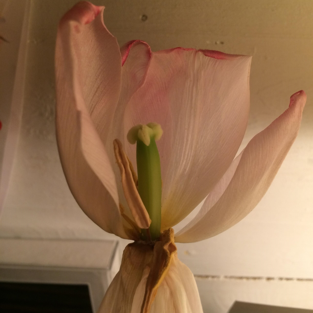 eveningtulip.jpeg