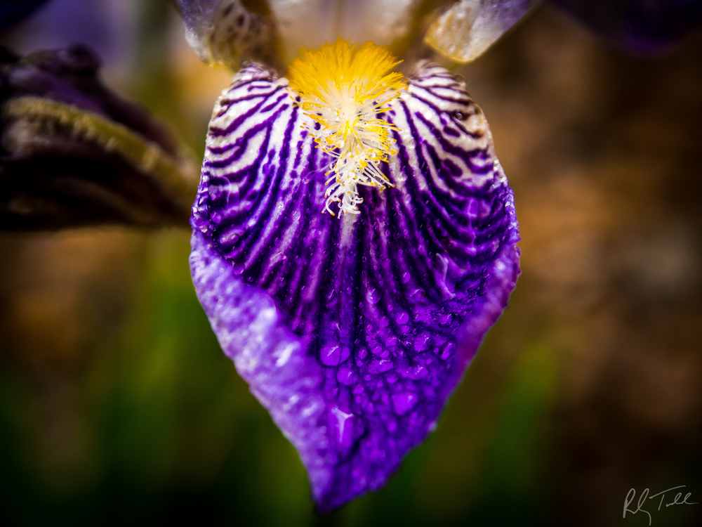 """Rain-dropped Iris"""