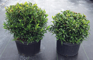 Topflor Granular applied to Gardenia grown in 10-inch pots; (right) at 1teaspoon/pot (4 grams) compared to untreated (left). Image was taken 8 months after treatment.