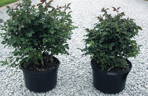 Topflor Granular applied to Knockout Rose, grown in 10-inch pots; (right) at 1 teaspoon/pot (4 grams) compared to untreated (left).  Image was taken 8 months after treatment.